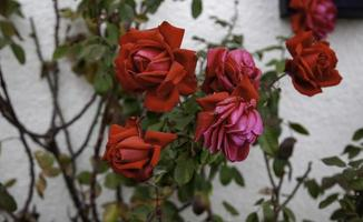 Rosebush of red roses photo