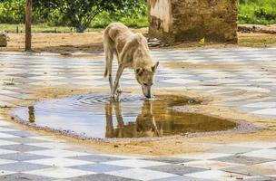 perro conocido popularmente como perros callejeros foto