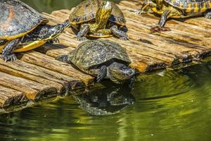 Brazilian tortoise in the open air photo