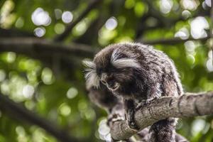 Brazilian monkeys in the open air photo