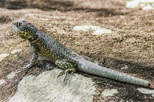 lizard without tail Brazil photo