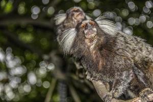 monos brasileños al aire libre foto