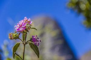 flores de altura brasileña foto