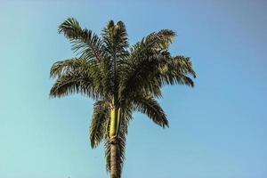 Brazilian palm tree photo