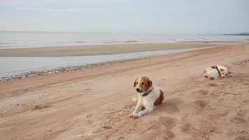 two stray dogs sitting on beach in morning video