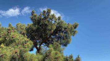 pinheiros em um fundo de céu azul video