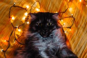 A cat and Christmas lights photo