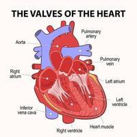 corazón humano, sección transversal, esquema descriptivo. vector