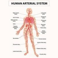 Human circulation sanguine, cardiovascular, vascular and arterial system vector