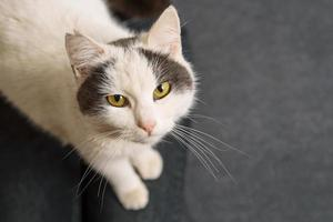 Photo of cute white cat looking at the camera and sitting on grey sofa