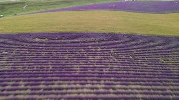 Over the Lavender Fields in The Evening video