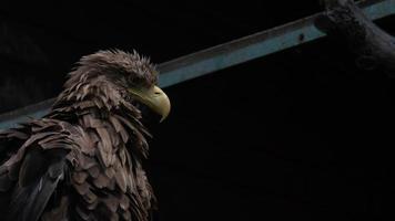 Primer plano del águila de cola blanca adulta. águila ucraniana foto