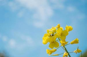 Yellow rapeseed or canola flowers, grown for the rapeseed oil photo