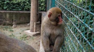 Sad face of monkey capuchin on cage sitting on fence photo