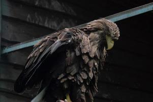 Adult white tailed eagle closeup. Ukrainian eagle photo