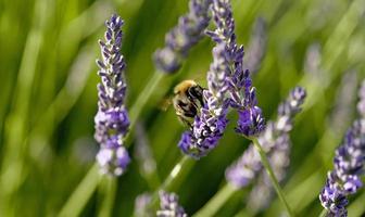 Una abeja forrajeando flores de lavanda en la provincia de Lot, Francia foto