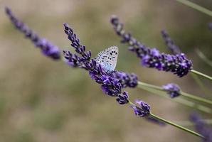 Una mariposa forrajeando flores de lavanda en la provincia de Lot, Francia foto