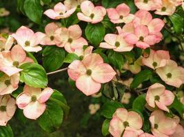 flor de cornejo rosa cornus kousa variedad señorita satomi foto