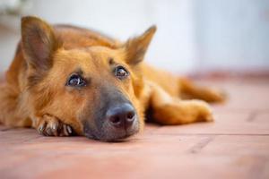 Perro pastor alemán tirado en el suelo. foto