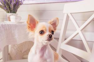 Pequeño perro chihuahua de pelo blanco descansando sobre el pelo. Perro chihuahua blanco en una silla en casa. foto