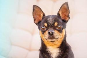 perro sobre un fondo beige. mascota. chihuahua negro. Retrato de perro chihuahua negro. foto