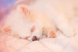 cachorro de Pomerania blanco está durmiendo. pomerania durmiente de color crema. sueño, ternura. mascota foto