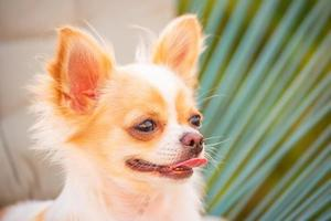 dog's lifestyle, longhair chihuahua relaxing on a wicker chair with pillow on a sunny day. photo