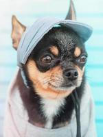 funny little dog. Chihuahua dog portrait. A dog in a baseball cap and a hoodie. photo