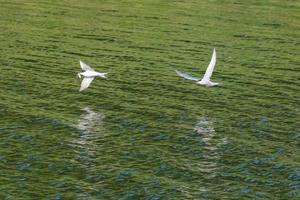 El charrán común Sterna hirundo río Lagar Belfast, Irlanda del Norte, reino unido foto