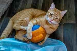 Orange Tabby at rest and play. Calgary, Alberta, Canada photo