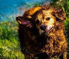 retreiver dorado se da un chapuzón en el estanque. Área de recreación provincial de Glenbow Ranch, Alberta, Canadá foto