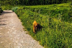 El retreiver dorado camina a través de la hierba alta. Área de recreación provincial de Glenbow Ranch, Alberta, Canadá foto