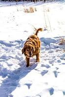 golden retriever corre por la nieve. parque nacional banff, alberta, canadá foto