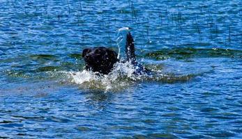 Laboratorio negro nadando en un lago, el parque provincial de Bow Valley, Alberta, Canadá foto