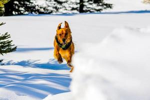 Golden retriever de pura raza corriendo en la nieve. banff, alberta, canadá foto