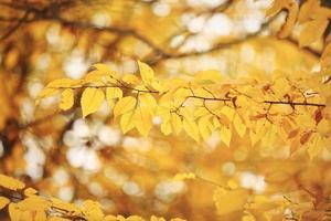Fondo de follaje abstracto, hermosa rama de árbol en el bosque otoñal, luz brillante y cálida del sol, hojas de arce secas de color naranja, temporada de otoño foto
