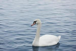 profile of white swan on blue misty lake. Graceful white Swan swimming in the lake, swans in the wild. Portrait of a white swan swimming on a lake. The mute swan, latin name Cygnus olor. photo