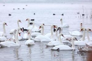 bandada de cisnes blancos en agua de manantial. cisnes en el agua. cisnes blancos. hermosos cisnes blancos flotando en el agua. cisnes en busca de comida. enfoque selectivo foto