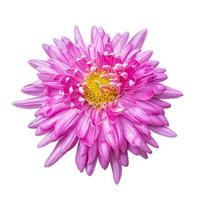 primer plano de una hermosa flor de crisantemo rosa aislada sobre fondo blanco. foto