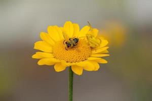 Flower crab spider with prey on aster photo