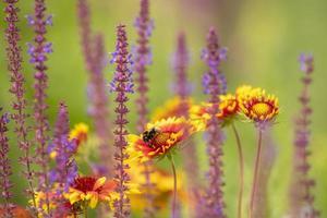 Prado de flores suavemente dibujado con ásteres amarillos y salvia y abejorro en flor foto