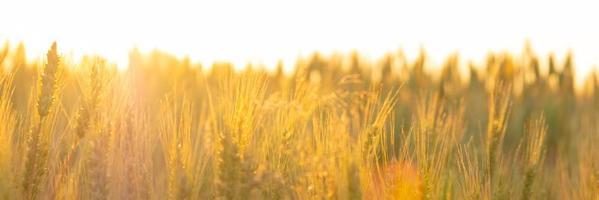 campo de trigo en los rayos del sol de la mañana, espiguillas en el amanecer de luz cálida naranja foto