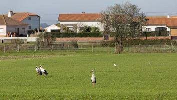 Storks in the meadow in Aveiro, Portugal photo
