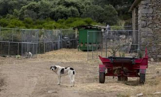 Farm dog in the rural environment, Portugal photo