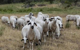 Flock of sheep in Portugal photo
