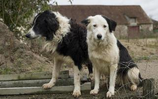Two dogs in the French countryside that look very sad. photo