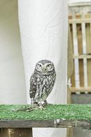 Pygmy Owl bird photo