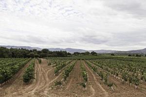 Vines of vineyards photo