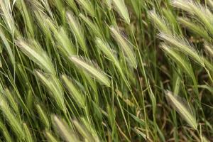 Wheat field in nature photo