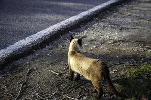 gato siamés en la carretera foto